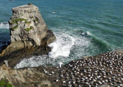 Neuseeland Toelpelkolonie